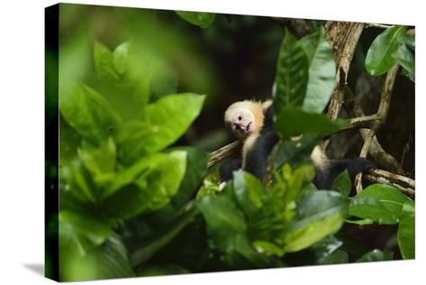 A Juvenile White-Faced Capuchin, Cebus Capucinus, Being Groomed by Another Monkey-Jonathan Kingston-Stretched Canvas Print