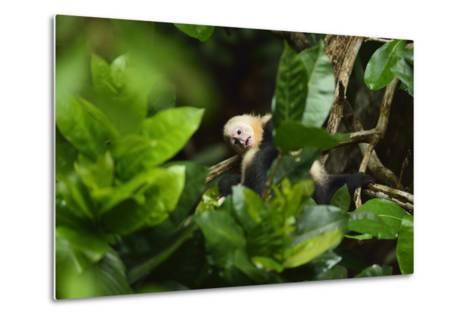 A Juvenile White-Faced Capuchin, Cebus Capucinus, Being Groomed by Another Monkey-Jonathan Kingston-Metal Print