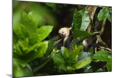 A Juvenile White-Faced Capuchin, Cebus Capucinus, Being Groomed by Another Monkey-Jonathan Kingston-Mounted Photographic Print