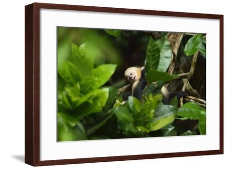 A Juvenile White-Faced Capuchin, Cebus Capucinus, Being Groomed by Another Monkey-Jonathan Kingston-Framed Art Print