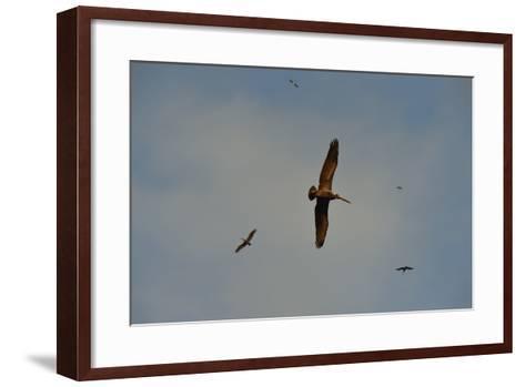 Brown Pelicans, Pelecanus Occidentalis, Soar Against a Blue Sky in Panama-Jonathan Kingston-Framed Art Print