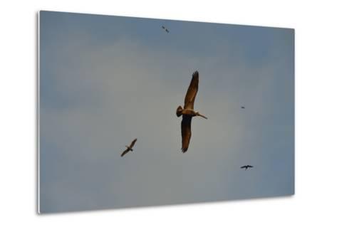 Brown Pelicans, Pelecanus Occidentalis, Soar Against a Blue Sky in Panama-Jonathan Kingston-Metal Print