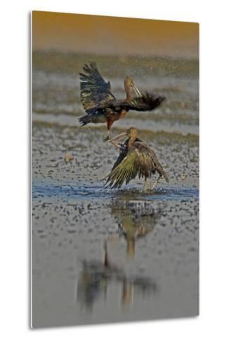 Two Glossy Ibis, Plegadis Falcinellus, Fighting to Determine Who Is the Alpha Male-Beverly Joubert-Metal Print