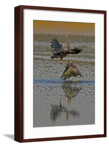 Two Glossy Ibis, Plegadis Falcinellus, Fighting to Determine Who Is the Alpha Male-Beverly Joubert-Framed Art Print