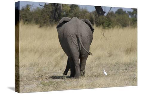 A White Bird Next to an Elephant, Upper Vumbura Plains, Botswana-Anne Keiser-Stretched Canvas Print