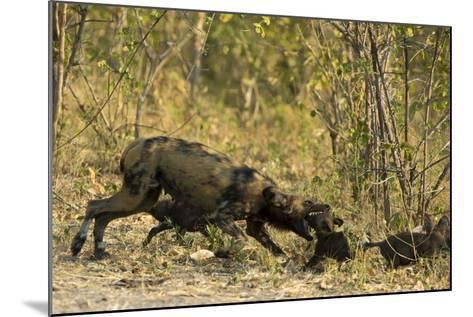 A Mother African Wild Dog, Lycaon Pictus, Play Fighting with its Pups-Beverly Joubert-Mounted Photographic Print