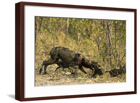 A Mother African Wild Dog, Lycaon Pictus, Play Fighting with its Pups-Beverly Joubert-Framed Art Print