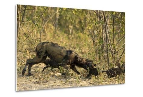 A Mother African Wild Dog, Lycaon Pictus, Play Fighting with its Pups-Beverly Joubert-Metal Print