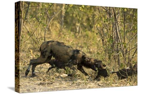 A Mother African Wild Dog, Lycaon Pictus, Play Fighting with its Pups-Beverly Joubert-Stretched Canvas Print