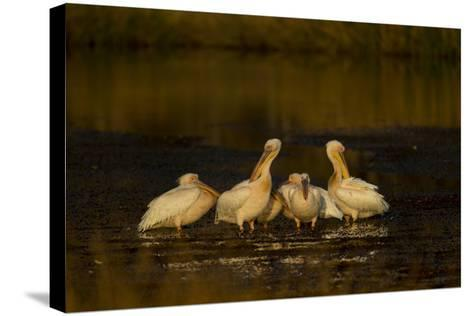 A Flock of Pelicans in a Spillway-Beverly Joubert-Stretched Canvas Print