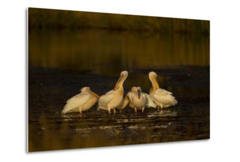 A Flock of Pelicans in a Spillway-Beverly Joubert-Metal Print