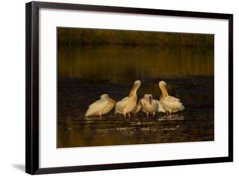 A Flock of Pelicans in a Spillway-Beverly Joubert-Framed Art Print