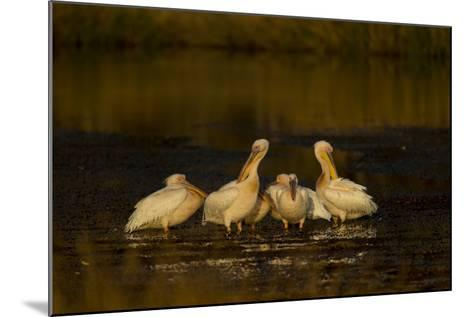 A Flock of Pelicans in a Spillway-Beverly Joubert-Mounted Photographic Print