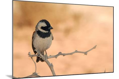 Sparrow in Area of Sossusvlei Dunes, Namibia-Anne Keiser-Mounted Photographic Print
