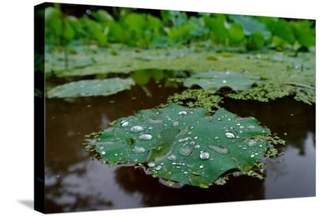 Water Drops on a Water Lily, Nymphaeaceae, Floating on Water-Tyrone Turner-Stretched Canvas Print