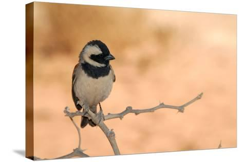 Sparrow in Area of Sossusvlei Dunes, Namibia-Anne Keiser-Stretched Canvas Print