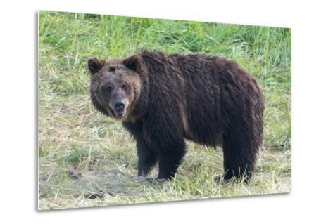 Brown Bear, Ursus Arctos, in Yellowstone National Park-Tom Murphy-Metal Print