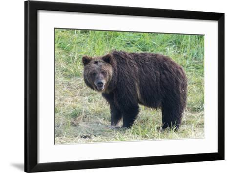 Brown Bear, Ursus Arctos, in Yellowstone National Park-Tom Murphy-Framed Art Print
