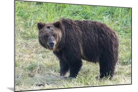 Brown Bear, Ursus Arctos, in Yellowstone National Park-Tom Murphy-Mounted Photographic Print