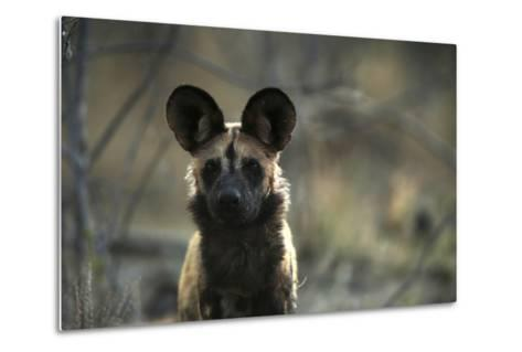 A Portrait of an African Wild Dog, Lycaon Pictus-Beverly Joubert-Metal Print