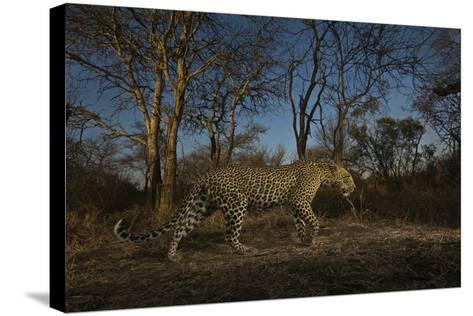 A Remote Camera Captures a Leopard in South Africa's Timbavati Game Reserve-Steve Winter-Stretched Canvas Print