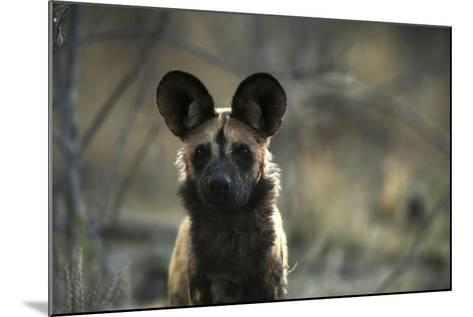 A Portrait of an African Wild Dog, Lycaon Pictus-Beverly Joubert-Mounted Photographic Print