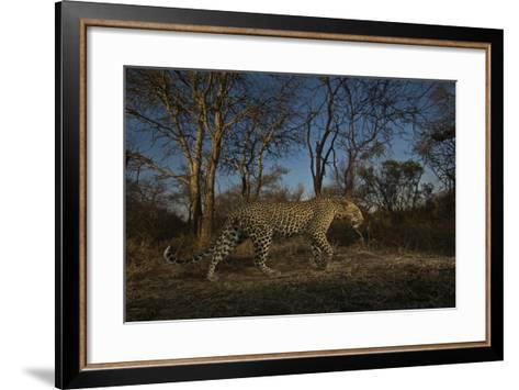 A Remote Camera Captures a Leopard in South Africa's Timbavati Game Reserve-Steve Winter-Framed Art Print
