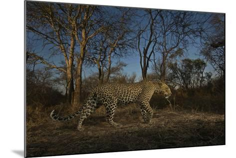 A Remote Camera Captures a Leopard in South Africa's Timbavati Game Reserve-Steve Winter-Mounted Photographic Print