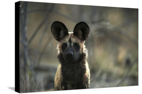 A Portrait of an African Wild Dog, Lycaon Pictus-Beverly Joubert-Stretched Canvas Print