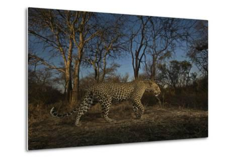 A Remote Camera Captures a Leopard in South Africa's Timbavati Game Reserve-Steve Winter-Metal Print