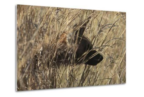A Close Up of an African Wild Dog, Lycaon Pictus, Hidden in the Grass-Beverly Joubert-Metal Print