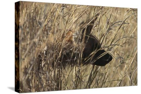 A Close Up of an African Wild Dog, Lycaon Pictus, Hidden in the Grass-Beverly Joubert-Stretched Canvas Print