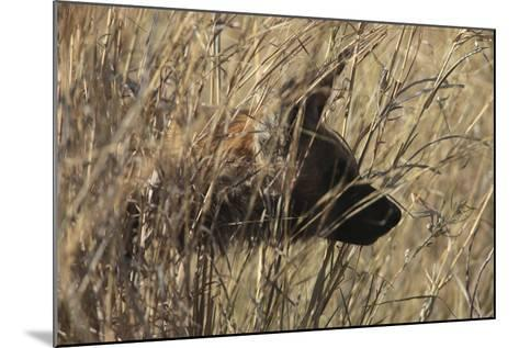 A Close Up of an African Wild Dog, Lycaon Pictus, Hidden in the Grass-Beverly Joubert-Mounted Photographic Print