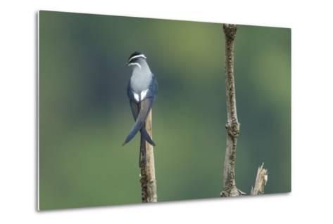 A Moustached Tree-Swift, Hemiprocne Mystacea, on a Perch in a Rain Forest Clearing-Timothy Laman-Metal Print