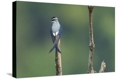 A Moustached Tree-Swift, Hemiprocne Mystacea, on a Perch in a Rain Forest Clearing-Timothy Laman-Stretched Canvas Print