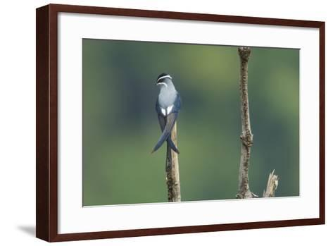 A Moustached Tree-Swift, Hemiprocne Mystacea, on a Perch in a Rain Forest Clearing-Timothy Laman-Framed Art Print