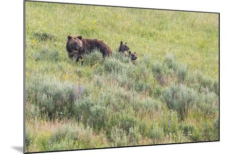 Brown Bear, Ursus Arctos, with its Two Cubs-Tom Murphy-Mounted Photographic Print