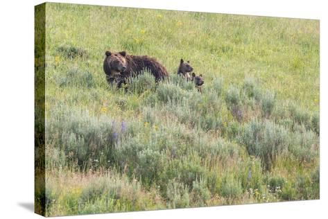 Brown Bear, Ursus Arctos, with its Two Cubs-Tom Murphy-Stretched Canvas Print