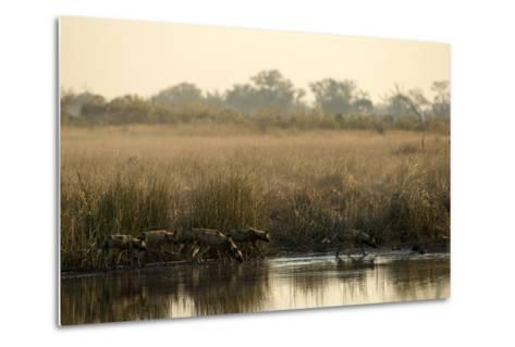 A Pack of African Wild Dog, Lycaon Pictus, Drink from a Spillway at Sunset-Beverly Joubert-Metal Print