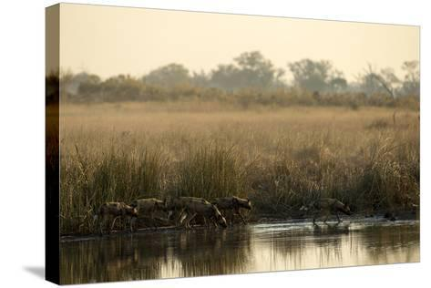 A Pack of African Wild Dog, Lycaon Pictus, Drink from a Spillway at Sunset-Beverly Joubert-Stretched Canvas Print