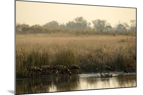 A Pack of African Wild Dog, Lycaon Pictus, Drink from a Spillway at Sunset-Beverly Joubert-Mounted Photographic Print