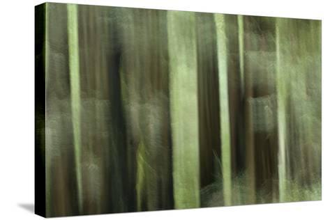 Coast Redwood Trees, Sequoia Sempervirens, in Redwood National Park-Philip Schermeister-Stretched Canvas Print