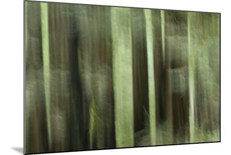 Coast Redwood Trees, Sequoia Sempervirens, in Redwood National Park-Philip Schermeister-Mounted Photographic Print