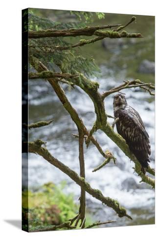 A Juvenile Bald Eagle, Haliaeetus Leucocephalus, Perches on a Branch-Erika Skogg-Stretched Canvas Print