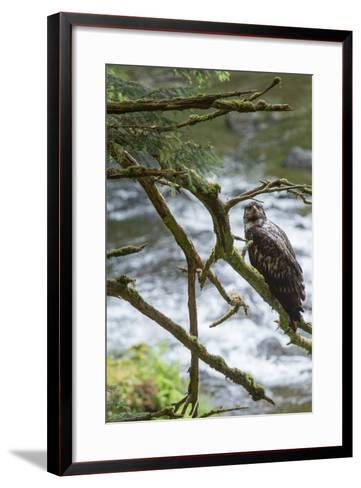 A Juvenile Bald Eagle, Haliaeetus Leucocephalus, Perches on a Branch-Erika Skogg-Framed Art Print