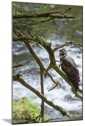 A Juvenile Bald Eagle, Haliaeetus Leucocephalus, Perches on a Branch-Erika Skogg-Mounted Photographic Print