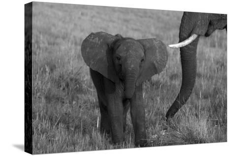 An African Elephant, Loxodonta Africana, Calf Grazing with its Mother-Beverly Joubert-Stretched Canvas Print