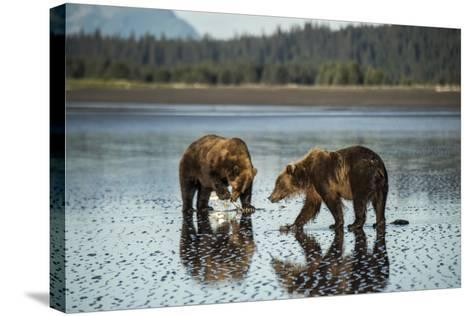 Brown Bear Walking at Silver Salmon Creek Lodge in Lake Clark National Park-Charles Smith-Stretched Canvas Print
