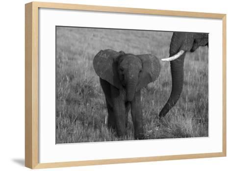 An African Elephant, Loxodonta Africana, Calf Grazing with its Mother-Beverly Joubert-Framed Art Print