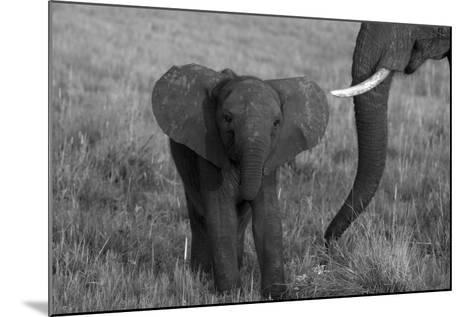 An African Elephant, Loxodonta Africana, Calf Grazing with its Mother-Beverly Joubert-Mounted Photographic Print